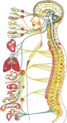 Spinal Nervensystem; Chiropraktik Bokelmann in Edewecht